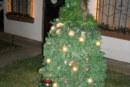 Mi planta de Vetiver, nuestro Arbolito Navideño